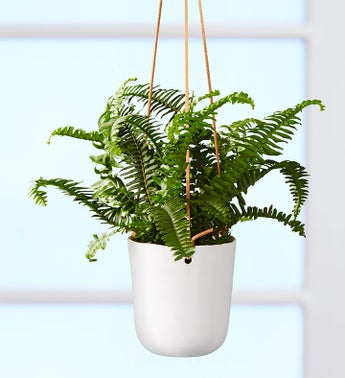 Boston Fern Hanging Plant