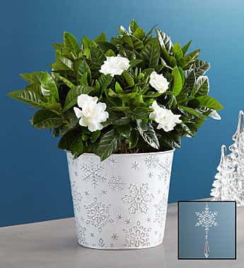 Winter White Gardenia
