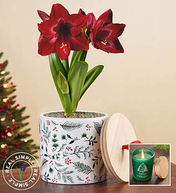 Holiday Amaryllis by Real Simple ® + Free Candle