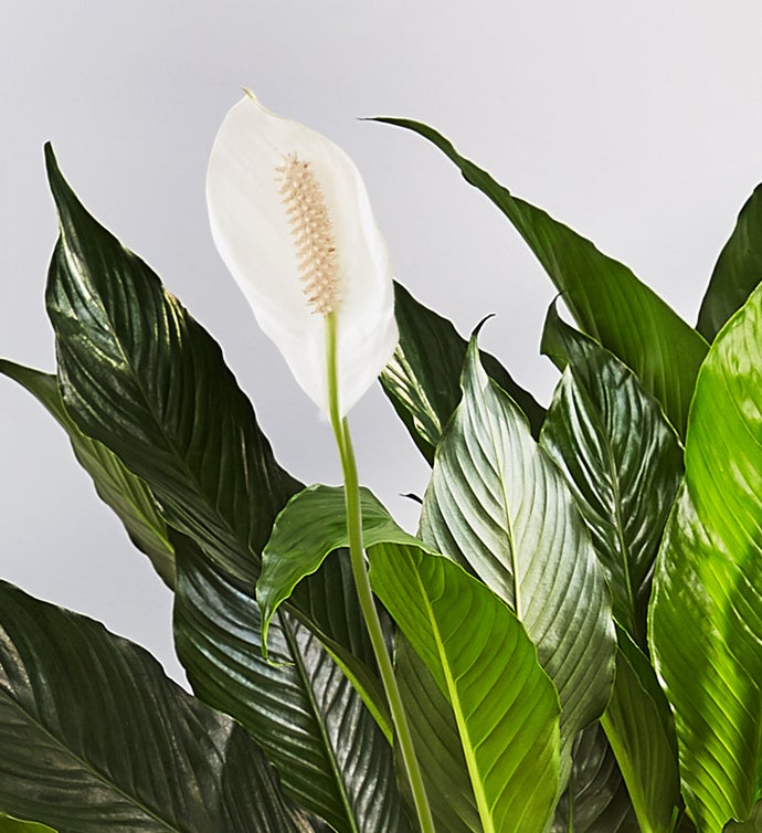 Calming Peace Lily Floor Plant
