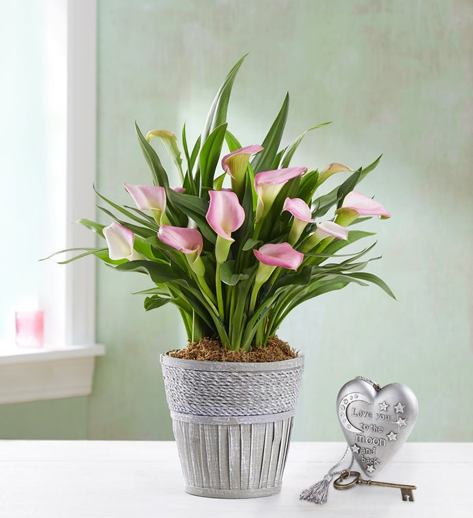 Lovely Calla Lily