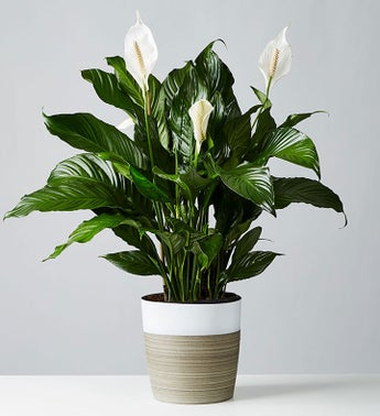 Peace Lily Floor Plant for Sympathy