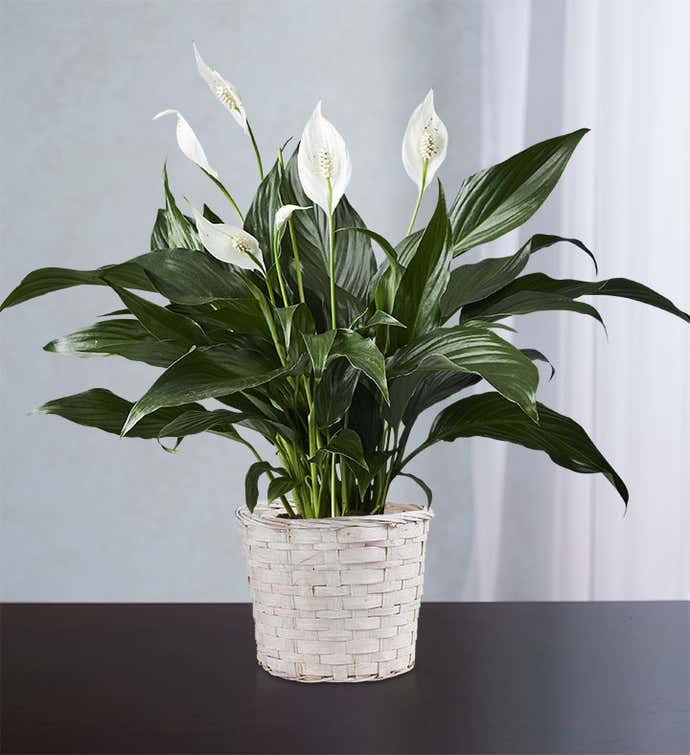 Calming Peace Lily Plant for Sympathy