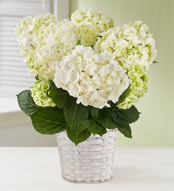 Blooming White Hydrangea for Sympathy
