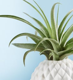 Pineapple Air Plant by Southern Living®