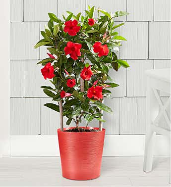 Red Mandevilla Plant with Trellis