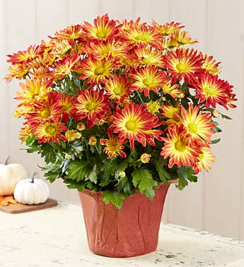 Autumn Blooming Pelee Mum