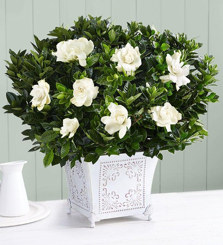 Grand Gardenia™