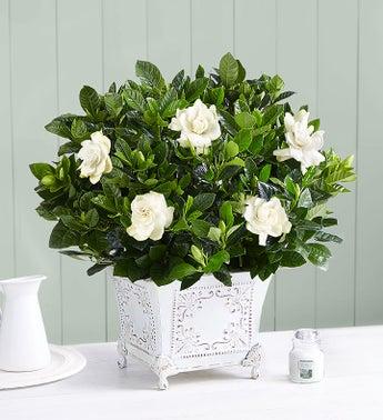 Gardenia Plants Amp Bushes Gardenia Arrangements Delivery