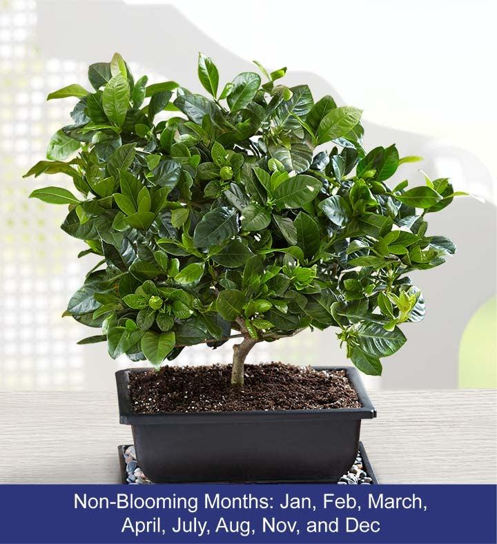 Gardenia Bonsai. 18202alt_view1. 18202alt_view2