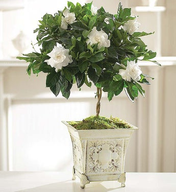 Gardenia Topiary for Mom