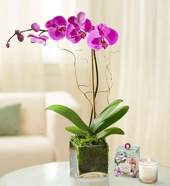 Elegant Orchid
