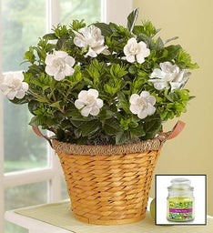 Blooming Gardenia Basket + Free Candle