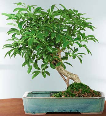 bonsai trees bonsai plants 1 800 flowers com the For1800 Flowers Bonsai