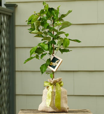 Dogwood Tree with Personalized Plaque