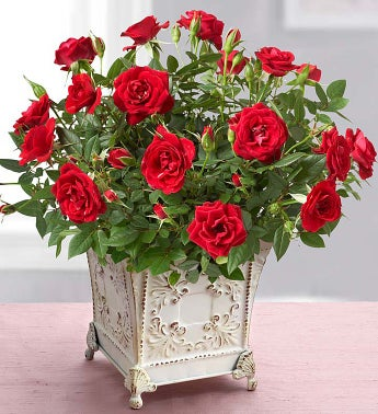 Royal Red Rose