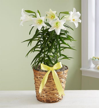 Easter Sentiments™ Lily Plant