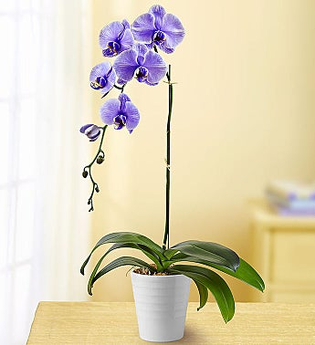 Lovely Lavender Orchid