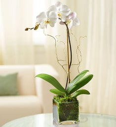 1 Stem White Phalaenopsis Orchid for Sympathy