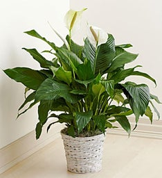 Blooming Spathiphyllum Floor Plant