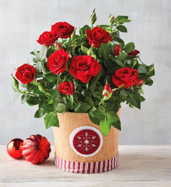 634 Holiday Red Mini Rose