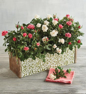 Mini Rose Plant Gift Trio